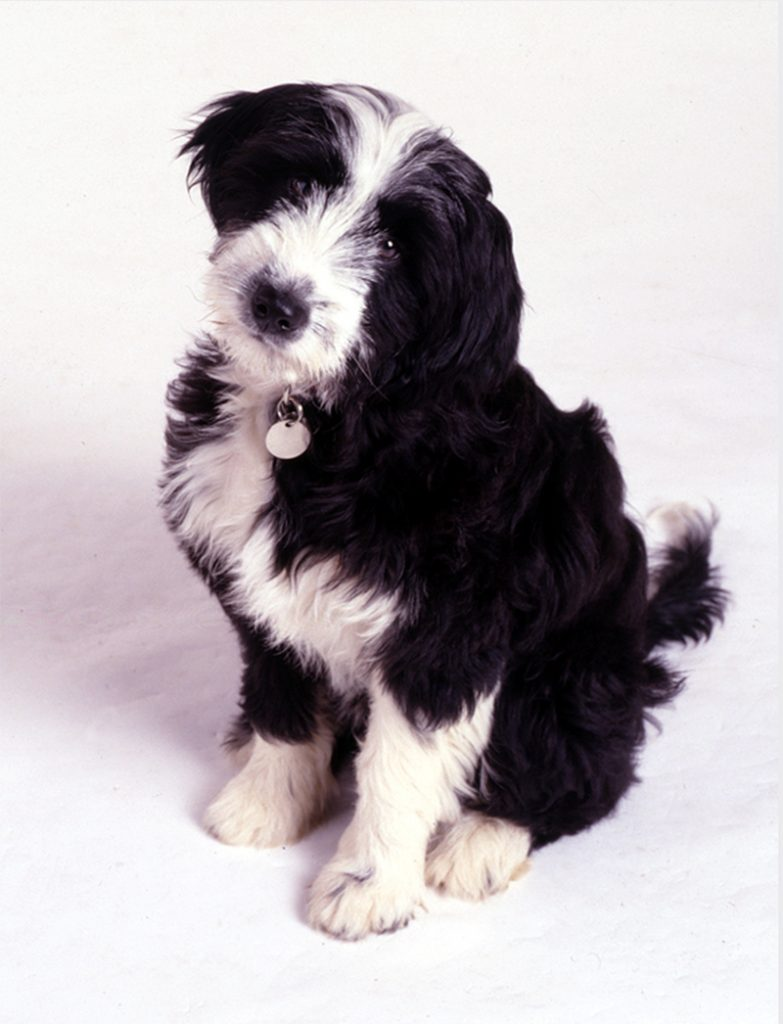 Black and white puppy sitting and looking at the camera