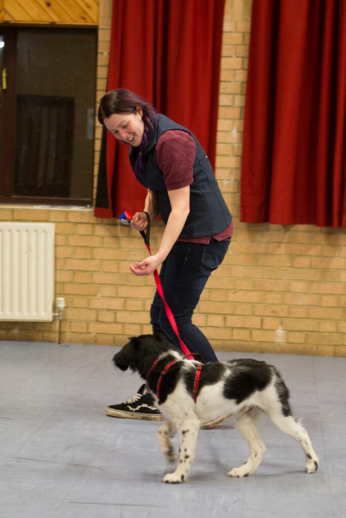 Stabyhoun puppy walking on lead with Puppy School tutor