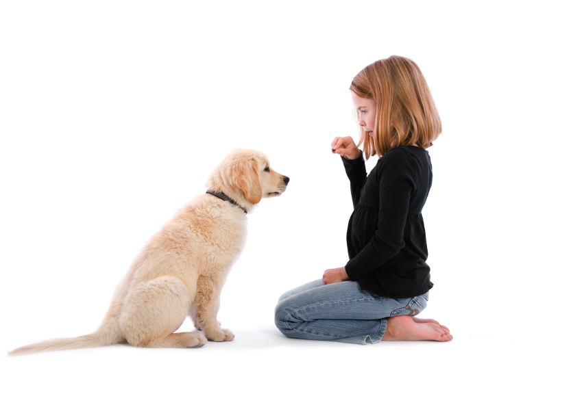 Little girl training Golden retriever puppy to sit